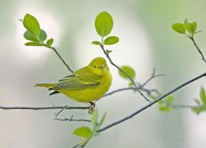 Q_Canada_CF03_KP0M1514_Yellow_Warbler_valmis